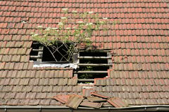 Greenhouse. Broken roofing tiles let the elder bush grow without limits Stock Photography