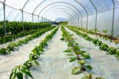 Greenhouse seedling crop stock image