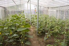 Greenhouse agriculture royalty free stock images