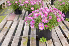 Greenhouse Asters Stock Image