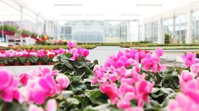 Greenhouse background full of cyclamen flower plants, panoramic image. With copy space stock photo