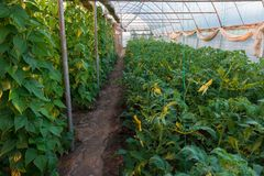 Greenhouse with beans and tomatoes Royalty Free Stock Photos