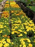 Greenhouse Beauties stock image