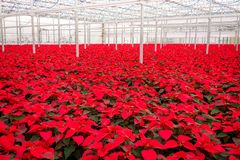 Greenhouse red poinsettias flowers. Greenhouse beautiful field of red poinsettia flowers royalty free stock image