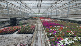 A greenhouse blooming flowers production facility. stock video