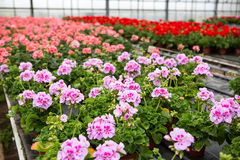 Greenhouse with blooming geranium flowers Royalty Free Stock Photo