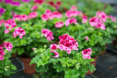 Greenhouse with blooming geranium flowers Stock Image