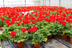 Greenhouse with blooming geranium flowers Stock Images
