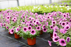 Greenhouse with blooming petunia flowers Stock Image