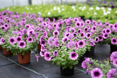 Greenhouse with blooming petunia flowers Stock Photo