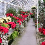 Inside the Greenhouse at Christmas. A greenhouse blooms with Poinsettias, both yellow and red, in a greenhouse at Christmastime royalty free stock photos