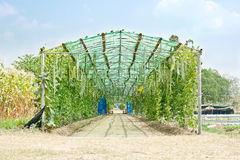 Greenhouse. Bottle gourd, smooth loofah and winter melon in greenhouse cultivation Stock Image