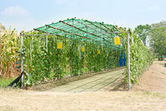 Greenhouse. Bottle gourd, smooth loofah and winter melon in greenhouse cultivation Royalty Free Stock Photography