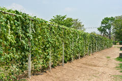 Greenhouse. Bottle gourd, smooth loofah and winter melon in greenhouse cultivation Stock Photos