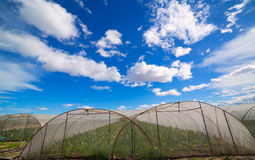 Greenhouse with chard vegetables under dramatic blue sky Royalty Free Stock Image