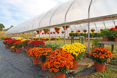 Greenhouse with chrysanthemums. Bennington, Vermont Royalty Free Stock Images