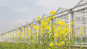 Greenhouse with coleseed in front stock photography