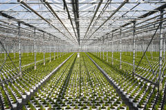 Greenhouse Conifers. Young conifers in pots in the greenhouse Stock Photos