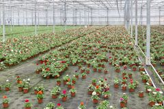 Greenhouse with cultivation of colorful flower Buttercups Royalty Free Stock Photos