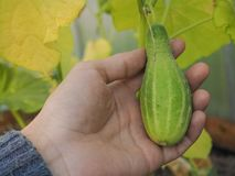 Greenhouse cultivation of cucumbers. Hand holding small growing cucumber. Cucumber in the hand. The autumn crop of cucumbers in the greenhouse Stock Photos