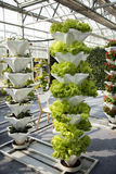 Greenhouse cultivation. Of green  vegetables Royalty Free Stock Photo