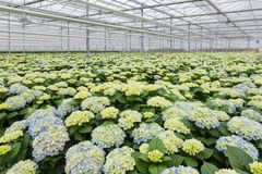 Greenhouse with cultivation of hydrangea Stock Photo