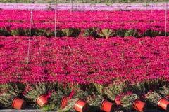 Greenhouse cultivation of Mesembryanthemum Crystallinum Stock Photos