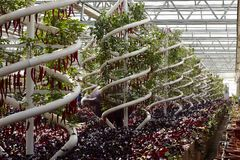 Greenhouse cultivation. Peppers in sunlighting warm-house vegetable planting & production technology exhibition, Beijing royalty free stock photos