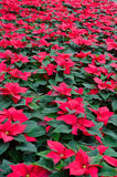 Greenhouse cultivation of poinsettias. Red stock photo