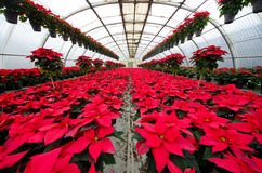 Greenhouse cultivation of poinsettias. Red Royalty Free Stock Image