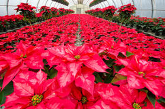 Greenhouse cultivation of poinsettias. Red Stock Photography