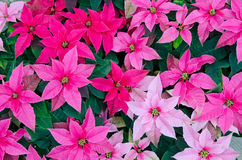Greenhouse cultivation of poinsettias. Red royalty free stock images