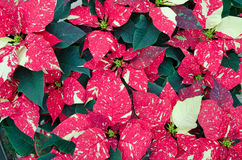 Greenhouse cultivation of poinsettias. A variegated leaf royalty free stock photos