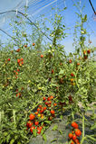 Greenhouse cultivation tomato Royalty Free Stock Photo