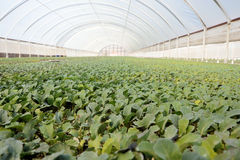 Greenhouse cultivation Royalty Free Stock Photos
