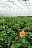 Greenhouse culture Royalty Free Stock Photo