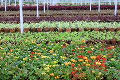 Flower nurseries grown in greenhouse Royalty Free Stock Photo