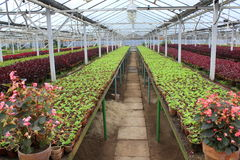 Greenhouse. With different species of flowers placed in rows Stock Photography