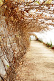 Greenhouse dry vine and path with potted plants. A path through a greenhouse is surrounded by a dormant brown vine covering the wall and top as well as a row of Stock Photography