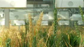 Greenhouse experimental technology for scientific research of barley Hordeum vulgare and wheat Triticum durum, genetic. Greenhouse experimental technologically stock video footage