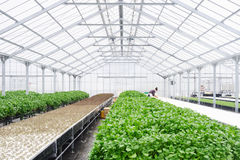 Greenhouse Farming Organic vegetable agriculture techno Stock Photography
