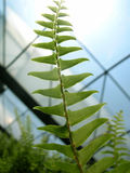 Greenhouse Fern. A fern looking up towards the sky inside a greenhouse Stock Image
