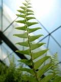 Greenhouse Fern Stock Image