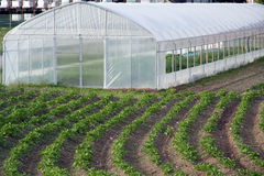 Greenhouse on the field. With potatoe Royalty Free Stock Image