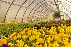 Greenhouse. Filled with autumn pansies in bloom Royalty Free Stock Photo