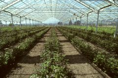 Greenhouse filled with rose plants Stock Image
