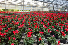 Greenhouse flower  cultivation Royalty Free Stock Photo