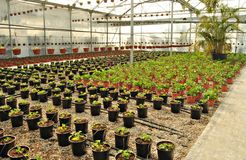Greenhouse flowers. Pots next to each other in a nursery Stock Images