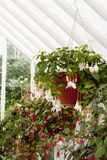 Greenhouse flowers Fuchsia Royalty Free Stock Photo