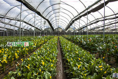 Greenhouse flowers ready for harvest calla lily Stock Photos